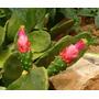 20 Mudas De Cacto Palma Doce - Opuntia Cochenillifera