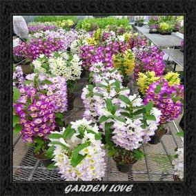 2 Mudas Orquídea Dendrobium Nobile *** Olhos De Boneca ***