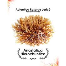 Rosa De Jerico Anastatica Hierochuntica De Tierra Santa