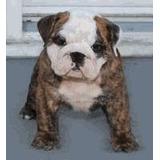 Bulldog Ingleses E Bulldog Franceses Filhotes De Campeões