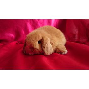 Hermosos Conejos Belier Mini Lop) 100% Raza Pura