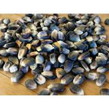 Semillas De Maiz Azul Autoctono - Zea Maiz Codigo 149