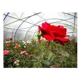 Vendo Plantas De Rosas