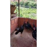 Ovos Galados De Galinhas Da Raça Shamo Negros