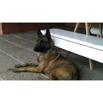 Servicio Ovejero Belga Malinois Fca $2000 O Cachorro.