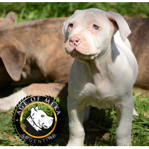 Pitbull Blue Ukc Criadero Age Of Meka