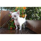 Cachorros Chihuahua Blancos, Miniaturas, 100% Garantizados .