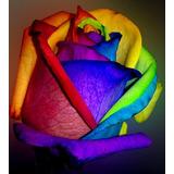 10 Sementes De Rosa Arco-íris (raras) + Frete Gratis