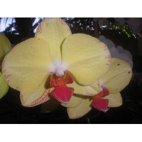 Orquidea Phalaenopsis Por R$ 5,99 Cada Uma.