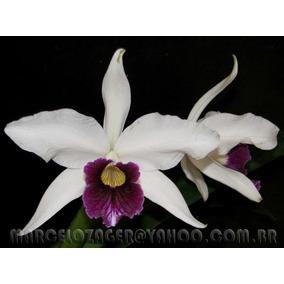 Laelia Purpurata Roxo-violeta - Vaso Adulto