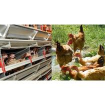 Pollas Camperas De 3-4 Semanas De Edad