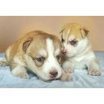 Cachorros Siberianos Husky Papeles