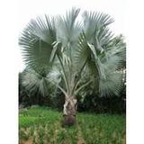 Palmeira Azul Bismarckia Nobilis 10 Sementes