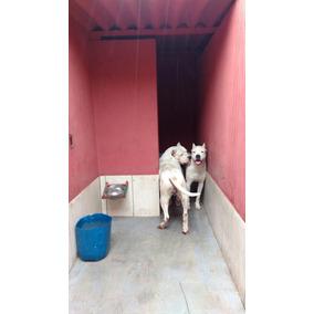 Dogo Argentino Fêmeas Pedigree Cbkc Fci
