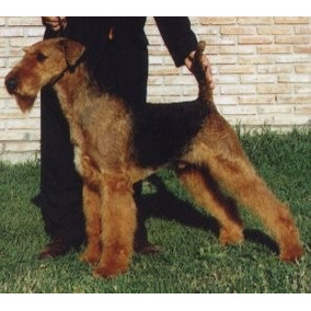 Airedale Terrier, Cachorros Con Pedigree Fca