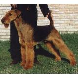 Airedale Terrier, 10 Meses Para Entendidos Con Pedigree Fca