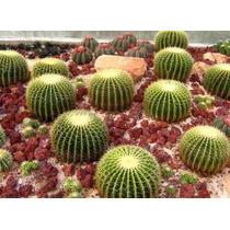 100 Sementes Cactos Bola Cactus Barril Cadeira De Sogra Flor