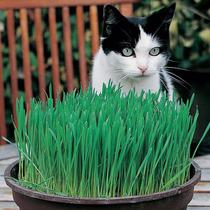 Hierba Gatera Mas De 200 Semillas Catgrass Pasto Gatos