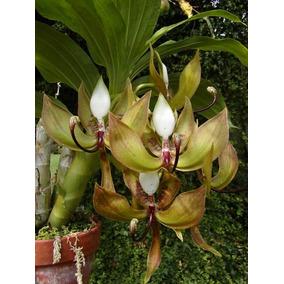Uma Bela Espécie De Orquídea - Cycnoches Loddigesii!