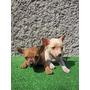 Cachorros Chihuahua Miniatura