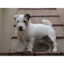 Jack Russell Terrier - Pirata - Para Monta - Fca