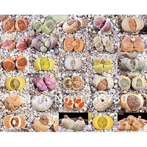 20 Sementes Cactos Lithops Pedra Viva Flor Mudas Rosa Cactus