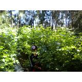 Liquidambar 1.50 A 1.80m Vivero Forestal (la Plata)