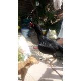 Gallo Polaco Cruzado Con Asil