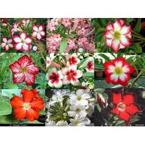 Rosa Do Deserto Mudas De Adenium Mudas De Flores Plantas