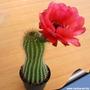 Sementes Cactos Trichocereus Grandiflorus Cactus Flor Mudas
