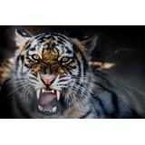 Bastidor En Canvas Felino Tigre 90x60 Cm Envio S/c Cap Fed