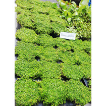 Cuba Hemianthus Callitrichoides Planta Acuatica Tapizante