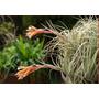 Mudas De Bromélia - Tillandsia Recurvifolia (meridionalis)