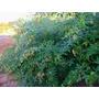 600 Sementes De Andu, Feijão-guandu, (cajanus Cajan) 19,90