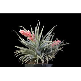 Mudas De Bromélia Tillandsia Recurvifolia (meridionalis)