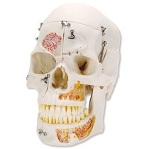 Modelo Anatómico Cráneo De Demostración De Lujo Vitrina 3b