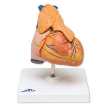 Modelo Anatómico Corazón Clásico Con Timo Marca 3b G08/1