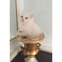 Gatitos Blancos Angora Cruza Con Persa!!