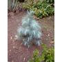 Pino Azul , Pinus Maximartinezii , 1 Metro