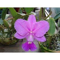Orquidea Cattleya Walkeriana Tipo Planta Adulta 29,90 Reais