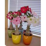 10 Sementes Rosas Do Deserto Adenium Raras Diversas Flor Mix