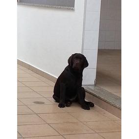 Filhote De Labrador (promoçao)