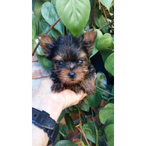 Yorkshire Terrier Mini Mini
