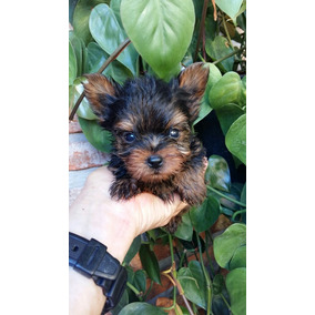 Yorkshire Terrier Super Minis
