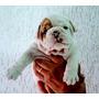 Bulldog Inglês Com Pedigree Somos Canil !! 12x Sem Juros