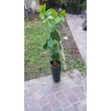 Planta Limonero Cuatro Estaciones 4