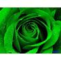 Semillas Rosa Verde Flor Exotica Rosa Verde Hermosas!