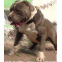 American Bully Semental