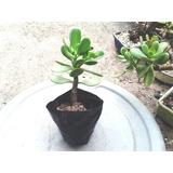 Crassula Ovata - Planta Jade , Muda