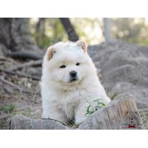 Cachorras Chow Chow Color Blancas/crema. Hago Envios/cuotas!